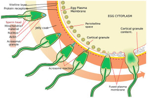 Weak Ejaculation and Low Semen Volume